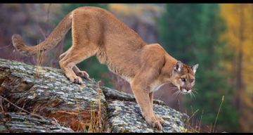 Three mountain lions killed after they ate human remains near a popular hiking trail in Arizona