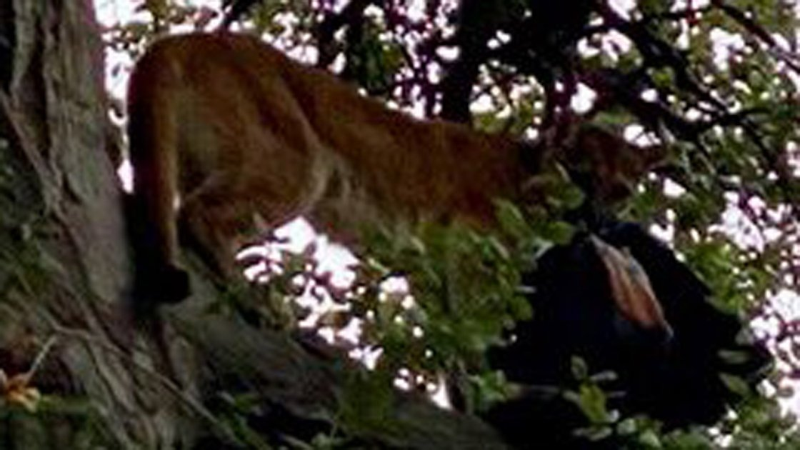 3-Year-Old Boy Attacked by Mountain Lion at Wilderness Park in Lake Forest; Lion Killed