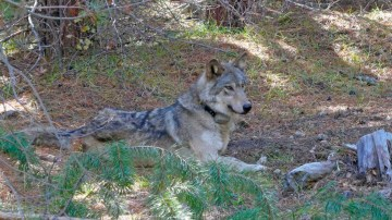 A gray wolf that wandered 8,712 miles — probably seeking a mate or a new pack — has died in California