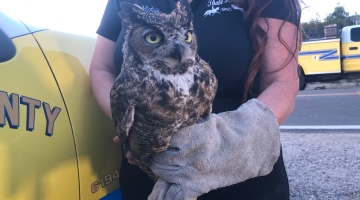 An owl injured during a California wildfire has returned to the wild