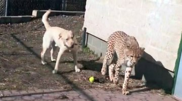 Best friends with a purpose: Cheetah has a 'therapy dog' companion at Turtle Back Zoo