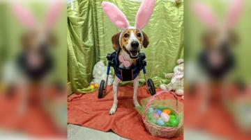 Lieutenant Dan the two-legged hound has been named the next Cadbury Bunny