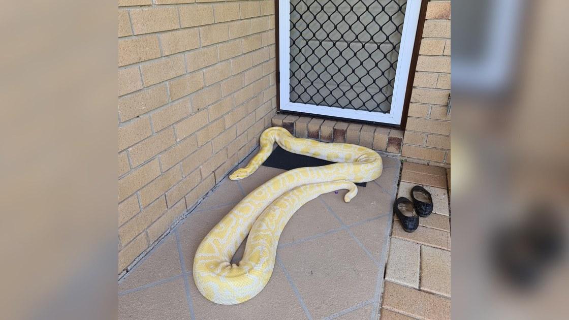 Australian woman finds huge Burmese python on her porch