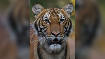 A tiger at the Bronx Zoo tests positive for coronavirus