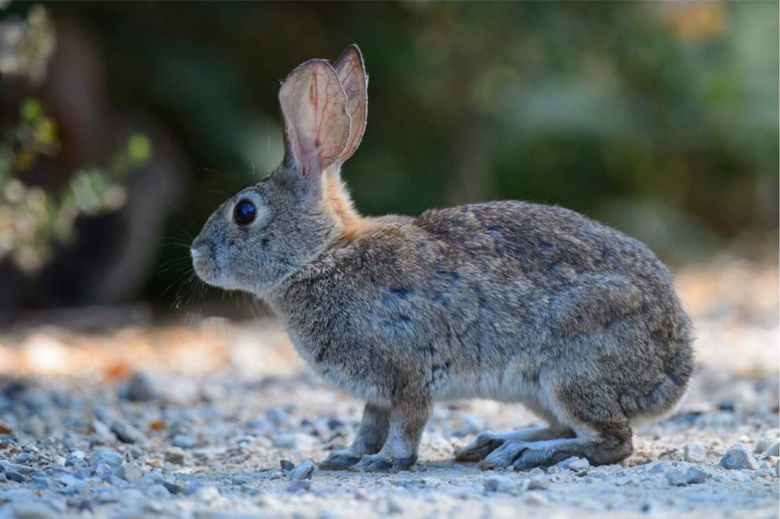 Deadly Rabbit Virus Found in Palm Springs; First Sighting in California