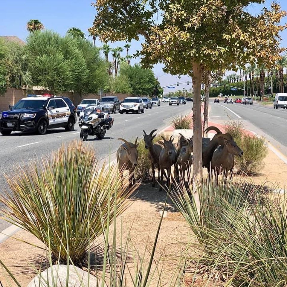 Big Horn Sheep Cause Traffic Jam in La Quinta