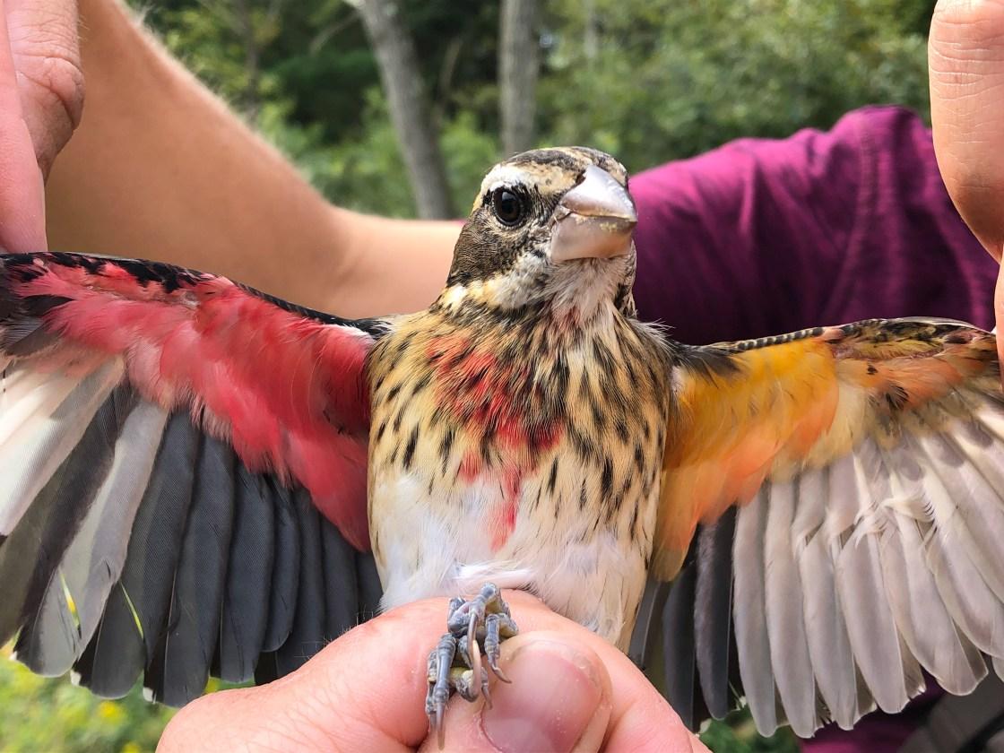 Scientists have found a rare half-male, half-female songbird