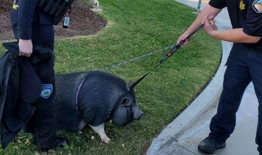 Pig Found in Indio Returned to Family, Her name is Charlotte