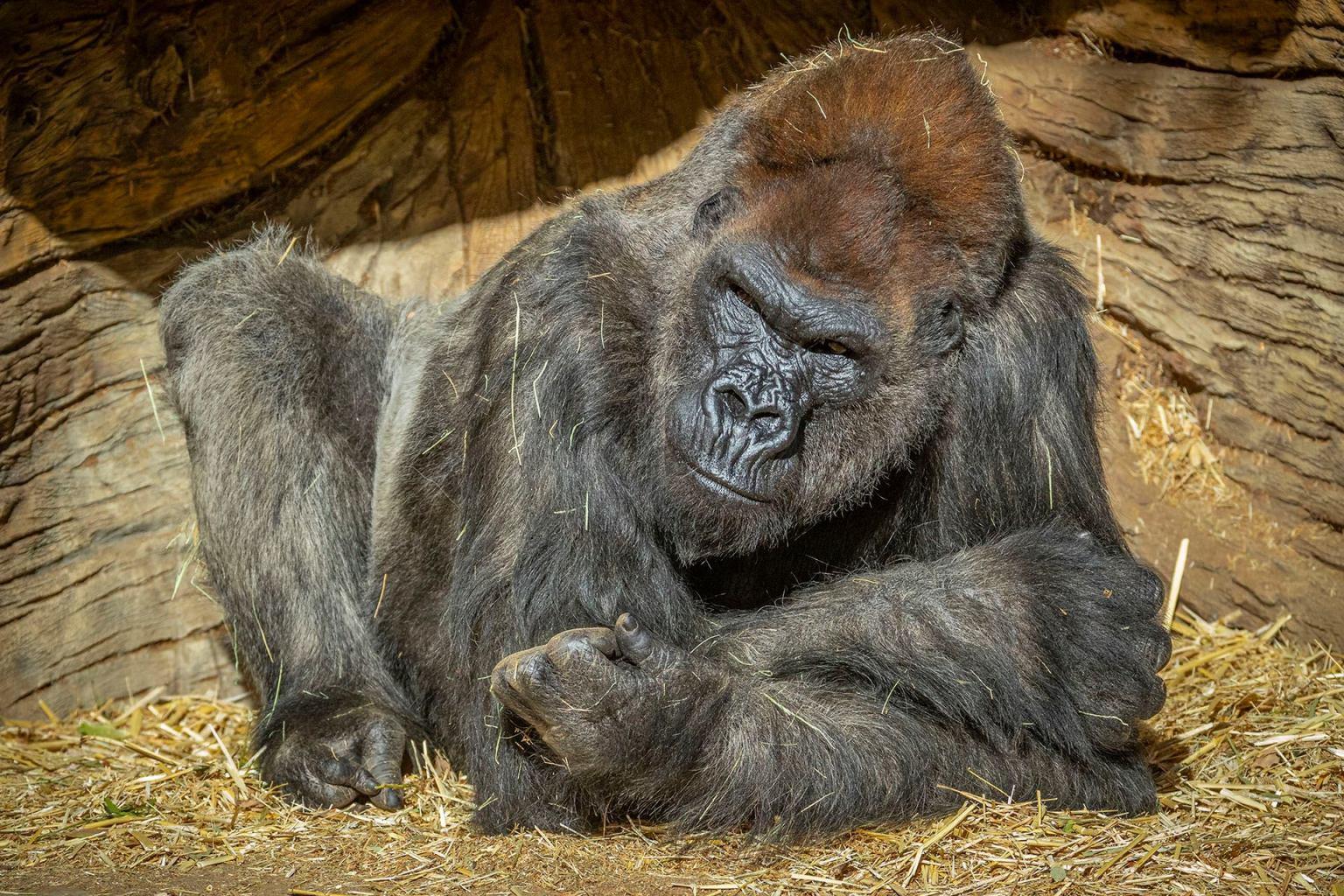 Two Gorillas in San Diego Test Positive for Coronavirus