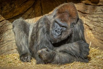 Two Gorillas in San Diego Test Positive for Coronavirus