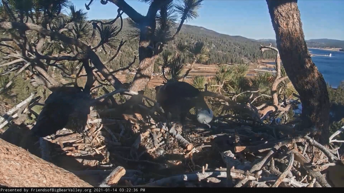 Ravens Eat Another Big Bear Bald Eagle Egg