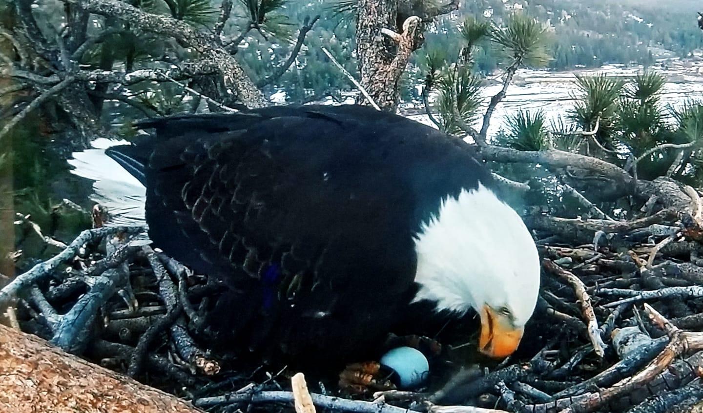 Big Bear Bald Eagle lays egg #5
