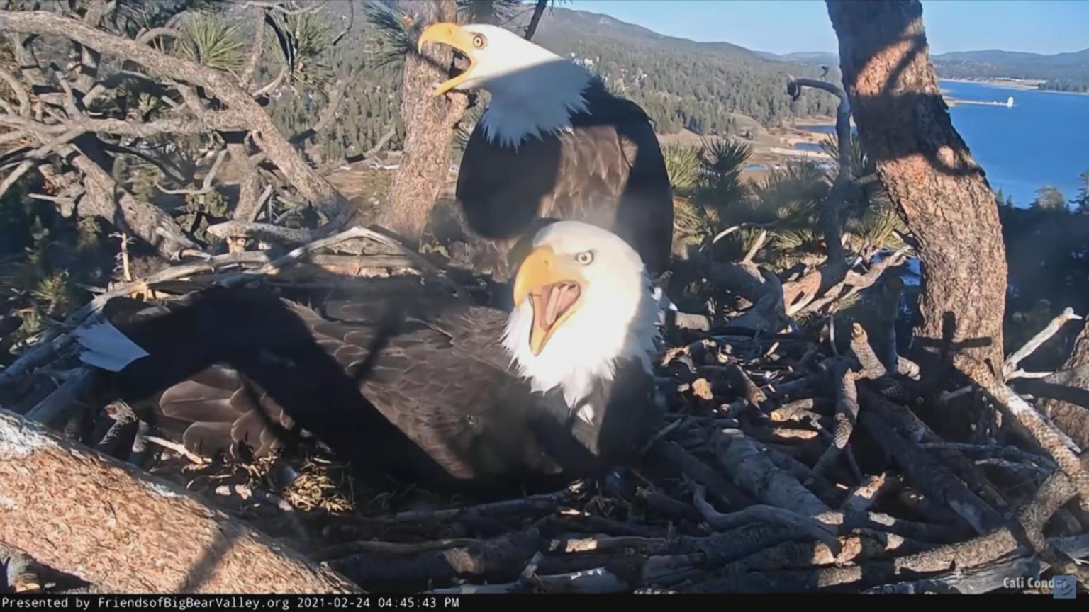 WATCH: Big Bear Bald Eagles scare off intruder