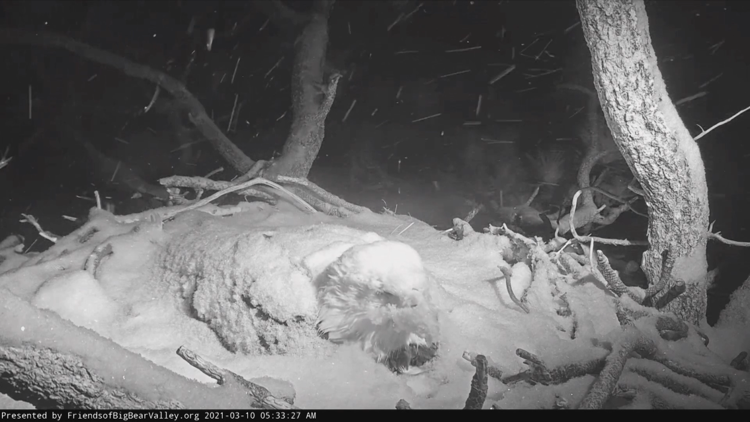 WATCH: Big Bear Bald Eagle covered in snow