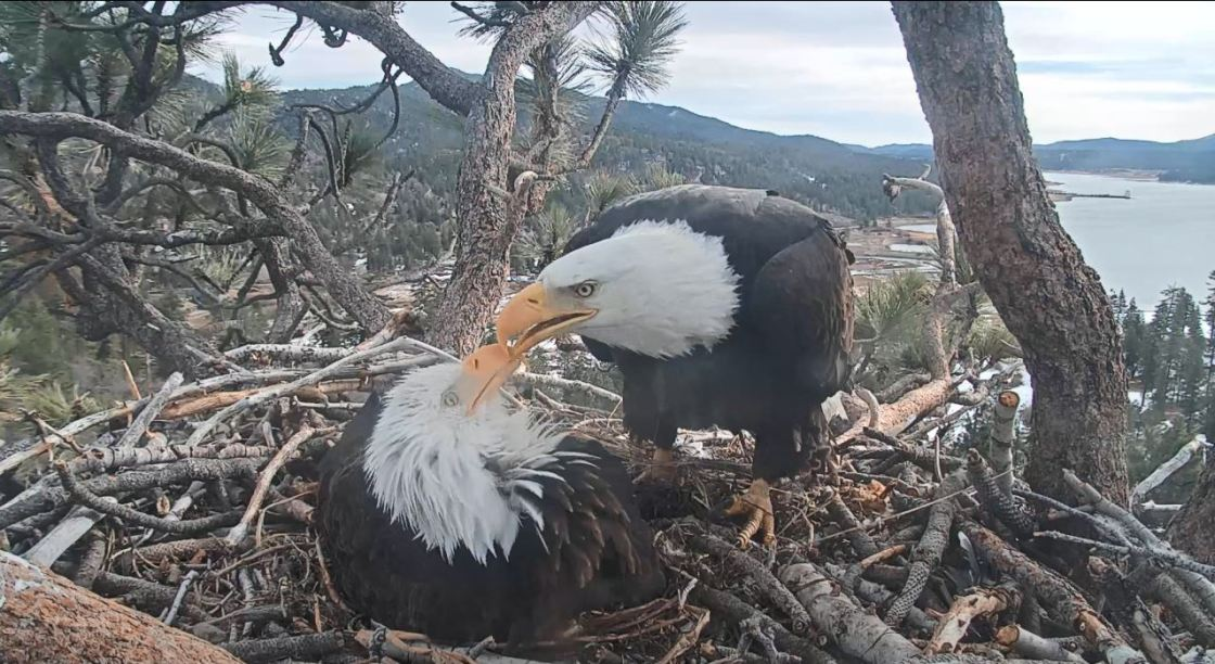 Weekly Rundown: Big Bear Bald Eagle Special