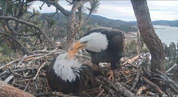 Weekly Rundown: Big Bear Bald Eagle Special