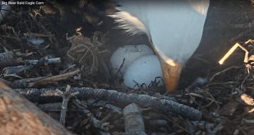 LIVE: Bald Eagle Egg Begins to Hatch
