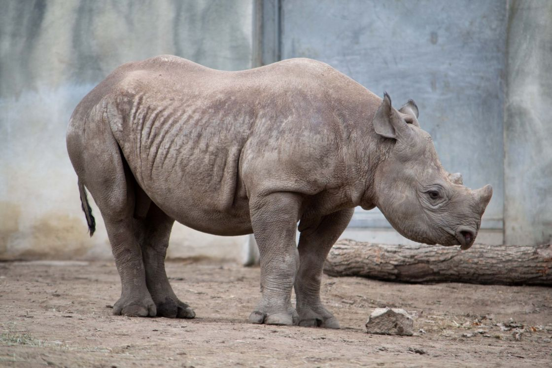 Living Desert to Feature Two Black Rhinos at New Exhibit Set to Open This Fall
