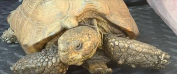 Stolen 70-year-old tortoise recovered by deputies