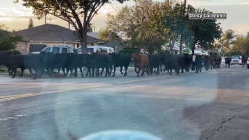 Final Escaped Cow Captured, But It Won't Be Going Back To The Slaughterhouse