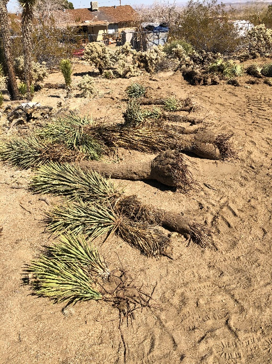 Morongo Basin couple destroys 36 Joshua Trees, local activists call for extension of plant's protection