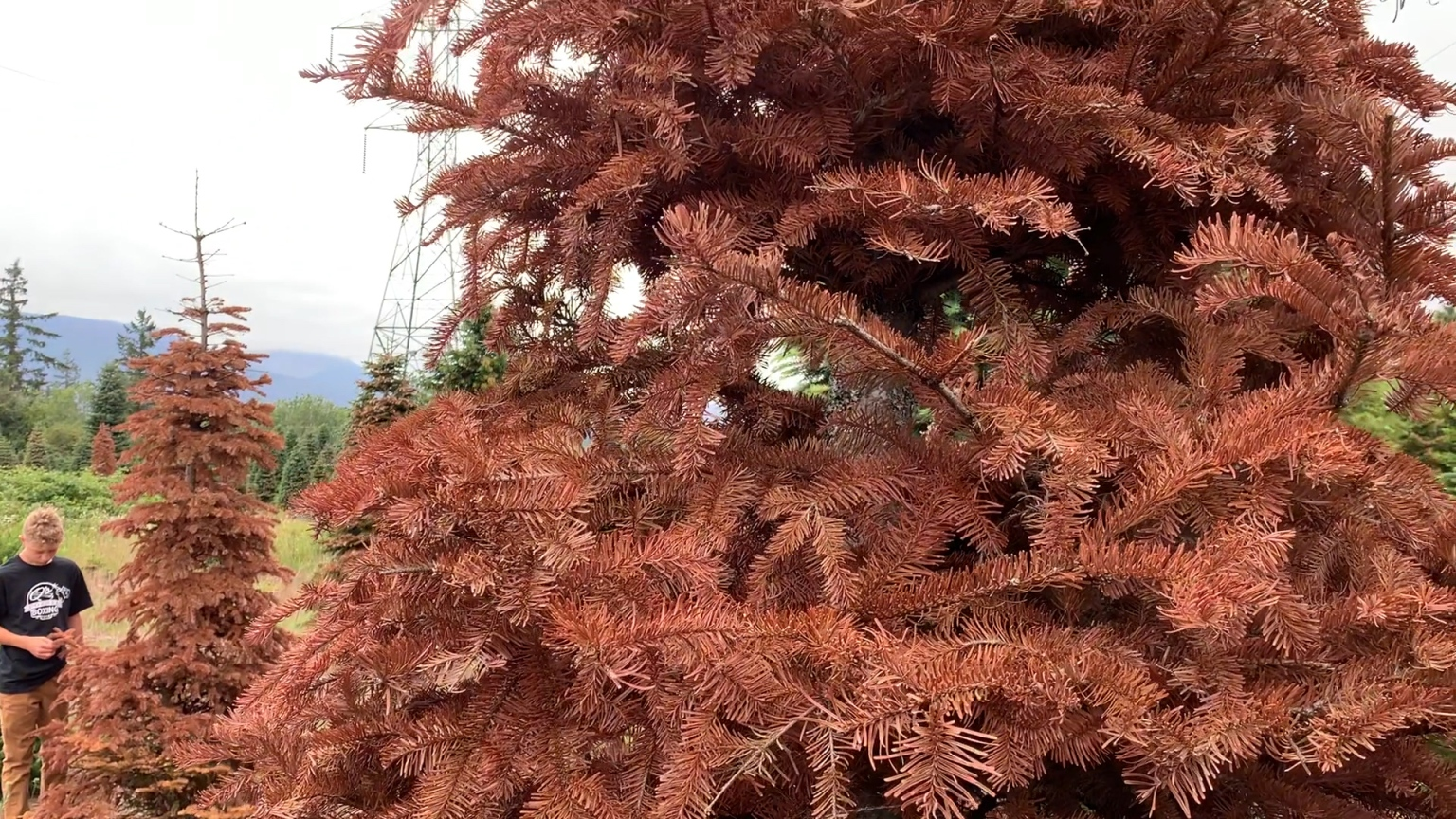 Local Christmas Tree Farmer; 'Not Sure If We Will Have Supply This Year, It Depends'
