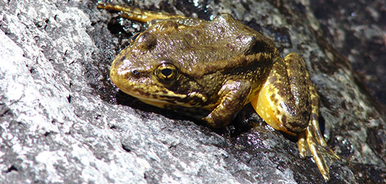 Endangered Yellow-Legged Frogs Find New Home In San Jacinto Mountains